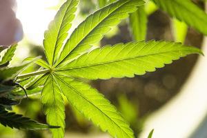 medical marijuana newburgh